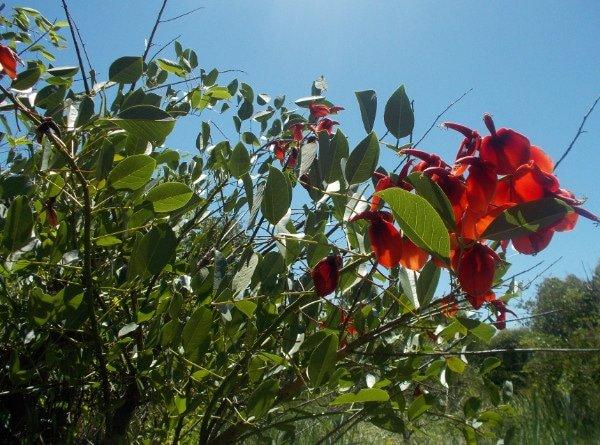Flor-de-ceibo-uruguay